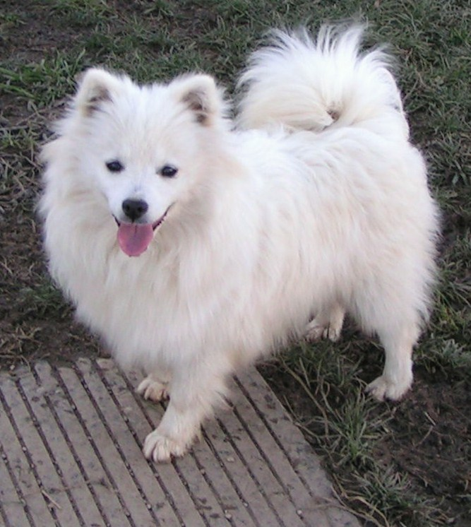 Image Gallery mini samoyed