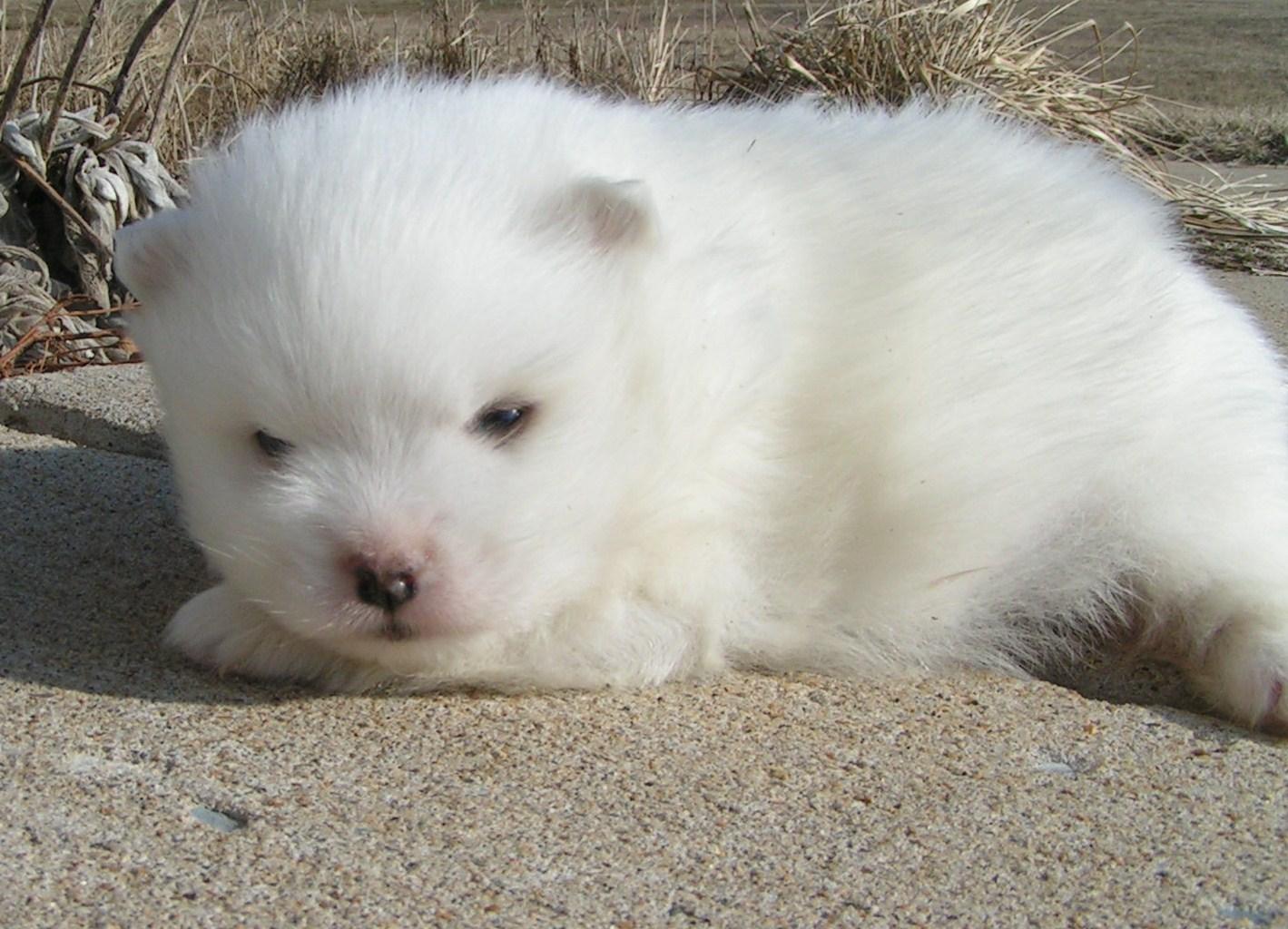 Wrights American Eskimos Puppies